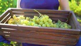 Zbliżenie caucasian kobieta niesie drewnianego pudełko z winogronami w fartucha i ogrodnictwa rękawiczkach zbiory