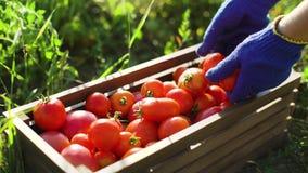 Zbliżenie caucasian kobieta wypełnia drewnianego pudełko z pomidorami w błękitnych ogrodnictwo rękawiczkach zdjęcie wideo