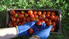 Zbliżenie caucasian kobieta wypełnia drewnianego zbiornika z pomidorami w błękitnych ogrodnictwo rękawiczkach zbiory