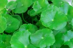 Zbliżenie Centella asiatica lub gotu kola w garnku, ayurveda ziele zdjęcie stock