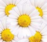 Zbliżenie chamomile kwiaty Fotografia Stock