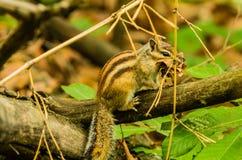 Zbliżenie chipmunk obsiadanie na gałąź Fotografia Stock