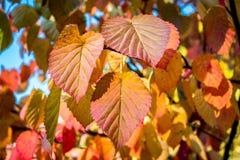 Zbliżenie colourful czerwień, pomarańcze, kolor żółty opuszcza w jesieni zdjęcia stock