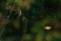 Zbliżenie czarny i żółty pająk Obrazy Royalty Free