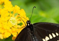 Zbliżenie Czarny Swallowtail na Lantana kwiacie zdjęcia stock