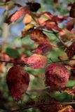 Zbliżenie czerwień opuszcza z grunge teksturą na zamazanej zielonej roślinie Zdjęcie Stock