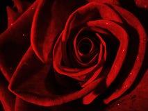 zbliżenie czerwień wzrastał Zdjęcie Royalty Free