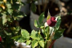 Zbliżenie czerwieni róża kwitnie na drzewie, Słodcy miłość pojęcia, Romansowi pojęcia, Makro- wizerunki Zdjęcie Stock