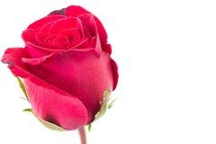 Zbliżenie czerwieni róża odizolowywająca zdjęcia stock