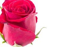 Zbliżenie czerwieni róża odizolowywająca zdjęcie royalty free
