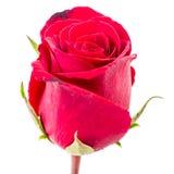 Zbliżenie czerwieni róża odizolowywająca fotografia royalty free