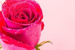 Zbliżenie czerwieni róża z wody kroplą obraz royalty free