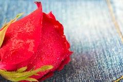 Zbliżenie czerwieni róża z wody kroplą na cajg tkaninie Fotografia Royalty Free