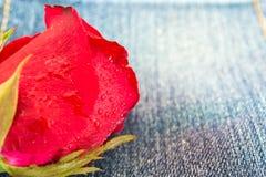 Zbliżenie czerwieni róża z wody kroplą na cajg tkaninie Obraz Royalty Free