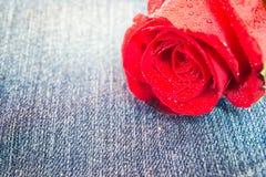 Zbliżenie czerwieni róża z wody kroplą na cajg tkaninie Obraz Stock