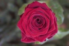 Zbliżenie czerwieni róży okwitnięcie Obrazy Royalty Free