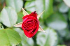 zbliżenie czerwona róża Zdjęcia Stock