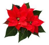 Zbliżenie czerwoni Bożenarodzeniowi poinsecja kwiaty Obraz Stock