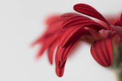 Zbliżenie czerwoni gerbera kwiatu płatki na białym tle Zdjęcia Royalty Free