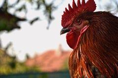 Zbliżenie czerwonobrunatna kogut głowa przy gospodarstwem rolnym Obrazy Stock