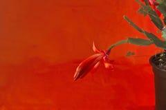 Zbliżenie Czerwony Bożenarodzeniowego kaktusa okwitnięcie Obrazy Royalty Free