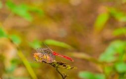 Zbliżenie czerwony dragonfly na liściu Obraz Royalty Free