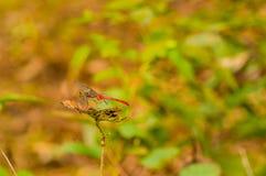 Zbliżenie czerwony dragonfly na liściu Fotografia Royalty Free