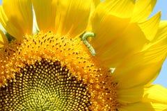 Zbliżenie dżdżownicy łasowania zielony płatek żółty słonecznik Obraz Stock