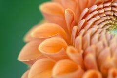 zbliżenie dahlię kwiat zdjęcie stock