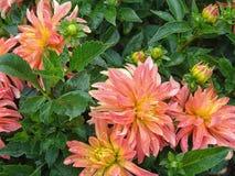 Zbliżenie dalia w ogródzie - kwiat jest w pełnym kwiacie z płatkami w kolorów brzmieniach od menchii, czerwieni i pomarańcze i ko Fotografia Royalty Free