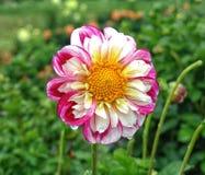 Zbliżenie dalia w ogródzie - kwiat jest w pełnym kwiacie z płatkami w kolorów brzmieniach od menchii, czerwieni i pomarańcze i ko Fotografia Stock