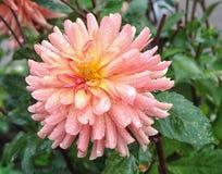 Zbliżenie dalia w ogródzie - kwiat jest w pełnym kwiacie z płatkami w kolorów brzmieniach od menchii, czerwieni i pomarańcze i ko Zdjęcia Royalty Free