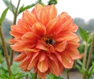 Zbliżenie dalia w ogródzie - kwiat jest w pełnym kwiacie z płatkami w kolorów brzmieniach od menchii, czerwieni i pomarańcze i ko Zdjęcia Stock