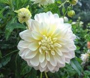 Zbliżenie dalia w ogródzie - kwiat jest w pełnym kwiacie z płatkami w kolorów brzmieniach od menchii, czerwieni i pomarańcze i ko Obrazy Royalty Free