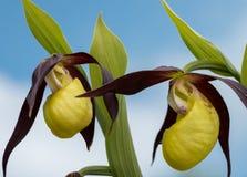 Zbliżenie damy ` kapcia orchidea w wiośnie zdjęcia royalty free