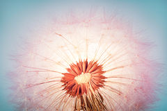 Zbliżenie dandelion zdjęcia royalty free