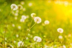 Zbliżenie dandelion na naturalnym tle pod światłem słonecznym Inspiracyjny natury pojęcie obraz stock