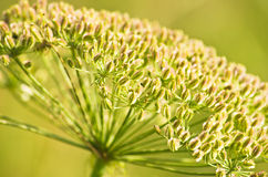 Zbliżenie dekoracyjna halna roślina na słonecznym dniu, Zlot góra Zdjęcia Royalty Free