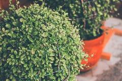 Zbliżenie Dekoracyjni krzaki w ogrodowym Bokeh tła wizerunku zdjęcia royalty free