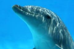 Zbliżenie Delfinu Bawić się Obraz Stock