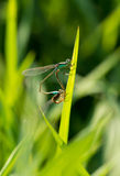 Zygoptera zdjęcie royalty free