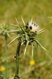Zbliżenie dojnego osetu kwiat z wiele czarnymi ścigami i snai, Obrazy Royalty Free