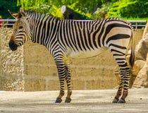 Zbli?enie doros?ych hartmann halna zebra, Podatny tropikalny ko?ski specie od Namibia i Angola w Afryka, zdjęcia stock