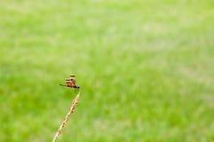 Zbliżenie dragonfly nad zielonej trawy tłem Fotografia Royalty Free