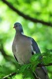 Zbliżenie drewnianego gołębia obsiadanie na gałąź Fotografia Royalty Free