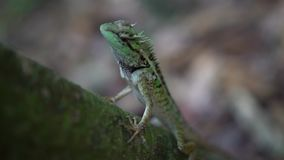 Zbliżenie Drzewna jaszczurka, Zielona czubata jaszczurka w naturze zbiory