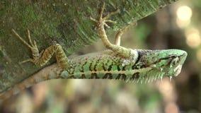 Zbliżenie Drzewna jaszczurka, Zielona czubata jaszczurka w naturze zdjęcie wideo