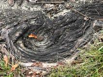 Zbliżenie drzewny korzeń w gazonie Zdjęcie Stock