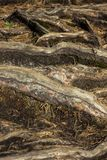 Zbliżenie drzewo zakorzenia - szczegółową teksturę Obrazy Royalty Free