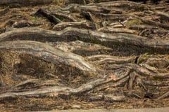 Zbliżenie drzewo zakorzenia - szczegółową teksturę Obraz Royalty Free